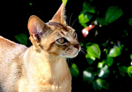 17 Pepper Abyssinian