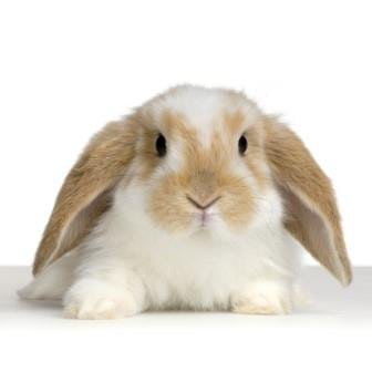 Do You Have A Pet Rabbit? Do You Know About RHDV1-K5?