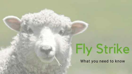 Fly Strike In Sheep