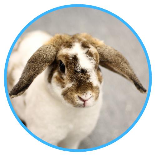 Rabbit Abscesses