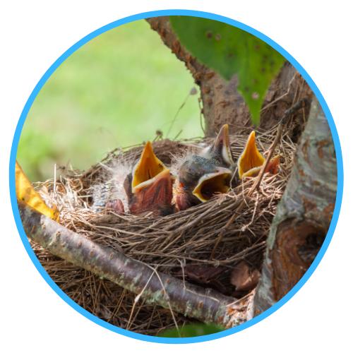 Wild Baby Birds