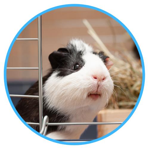 Care Of Pregnant Guinea Pigs