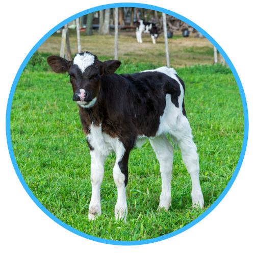 Calf Rearing