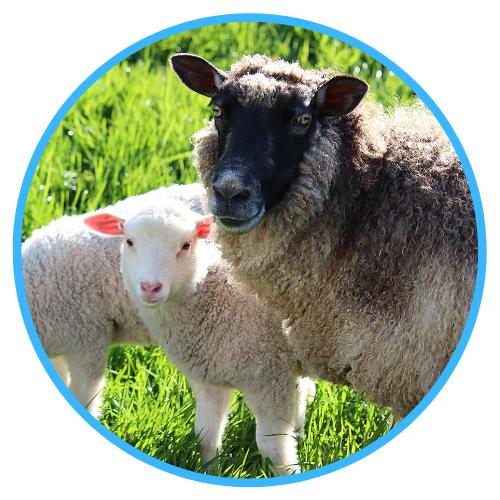Docking Lambs