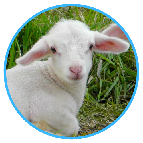 Care Of Orphan Lambs