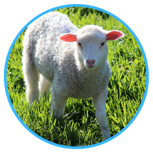 Vaccination Regimes For Sheep And Lambs
